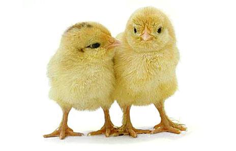paaske_kylling